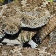 Western Diamondback Rattlesnake — Stock Photo #9185237