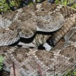 Western Diamondback Rattlesnake — Stock Photo #9185318