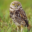 Burrowing Owl - Stock Photo