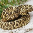 Rattlesnake — Stock Photo #9186333