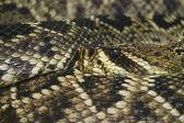 Eastern Diamondback Rattlesnake — Stock Photo