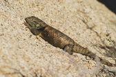 Desert Spiny Lizard — Stock Photo