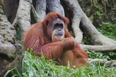 Orangutan (Pongo pygmaeus), Borneo, Indonesia — Stock Photo