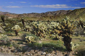 Cholla Cactus — Stock Photo