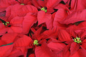 Close up of Poinsettia — Stock Photo