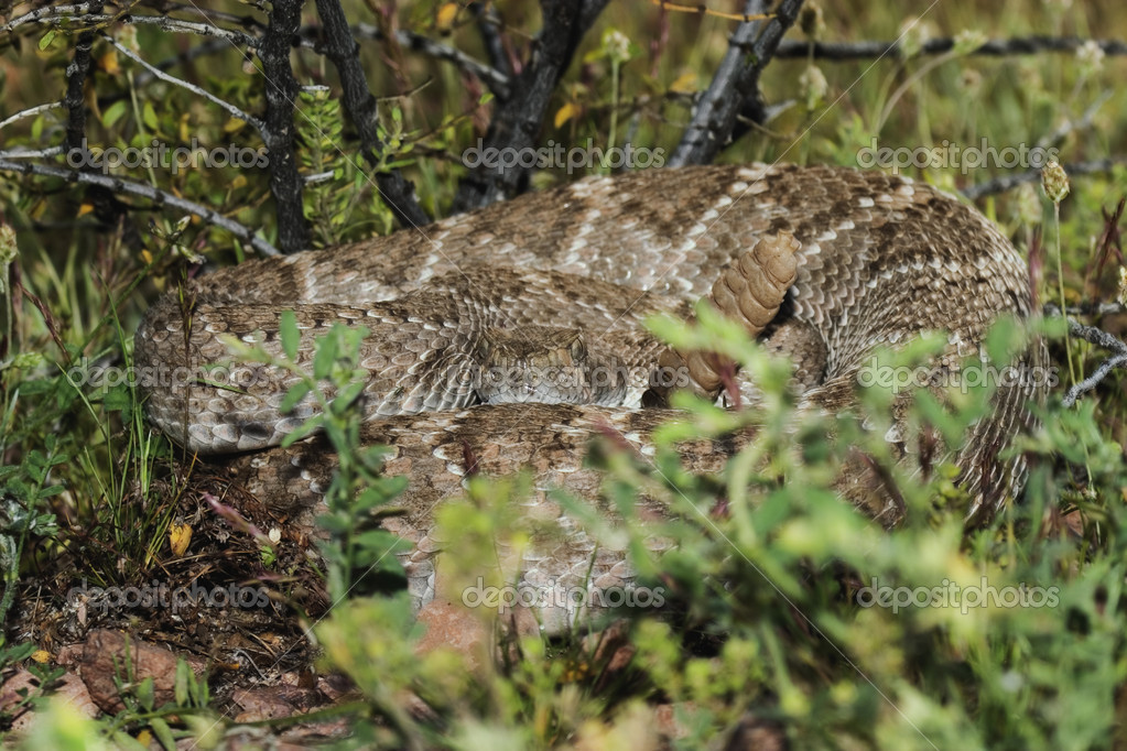 Western Diamondback Rattlesnake (Crotalus atrox) native to the southwestern United States. Growes to a length of 6 feet. — Stock Photo #9185158