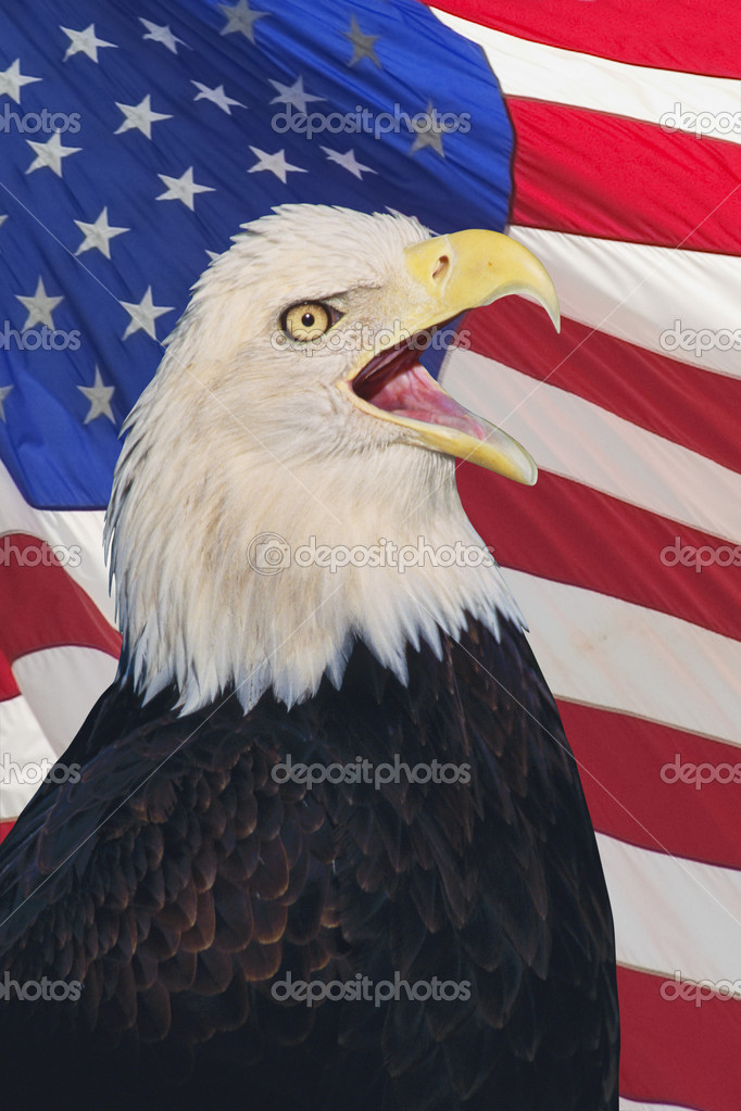 Bald Eagle (Haliaeetus leucocephalus) the United States national bird in front on the American flag — Stock Photo #9186305