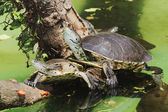 Hilaire's Side-necked Turtle — Stock Photo