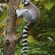 Ring-tailed Lemur sitting in tree — Stok fotoğraf