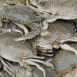 Fresh caught crabs - Stock Photo