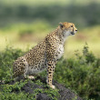 Cheetah — Stock Photo #9287108