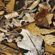 Gaboon Viper — Stock Photo #9287126