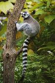 Ring-tailed Lemur sitting in tree — Stock Photo