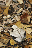 Gaboon Viper — Stock Photo