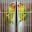 Stock Photo: Lovebirds