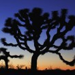 Joshua Tree at dusk - Stock Photo
