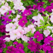 Petunias — Stock Photo #9721900