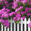 Stock Photo: Rhododendrons and Picket Fence