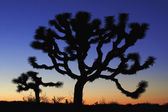 Joshua Tree at dusk — Stock Photo