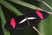 Crimson-patched Longwing Butterfly — Stock Photo