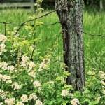 Wild Roses — Stock Photo #9884410
