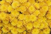 Yellow Mums — Stock Photo