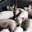 Intensive Pig Farming — Stock Photo