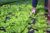 Lettuce Growing in Greenhouse — Stock Photo
