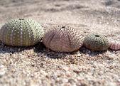 Urchin Shells — Stock Photo
