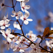 Cherry blossom on a beautiful spring morning — Stock Photo