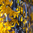 Royalty-Free Stock Photo: Beautiful yellow forsythia flowers outdoor in spring