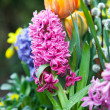 Stock Photo: Beautiful hyacinth flowers in garden in spring
