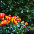Beautiful colorful tulips outdoor in spring — Stock Photo
