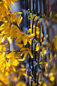 Beautiful yellow forsythia flowers outdoor in spring — Stock Photo