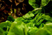 Fresh green salad on the market — Stock Photo