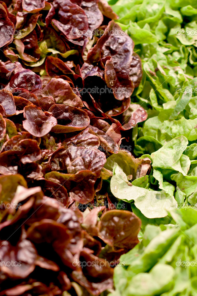 Fresh green and red salad macro on a market  Stock Photo #10341550
