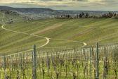 Green grapevine in springtime — Stock Photo