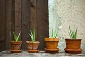 Aloe vera rostlina v zahradě — Stock fotografie