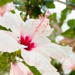 Beautiful tropical white hibiscus Malvaceae flower in summer - Stockfoto