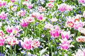 Beautiful colorful pink tulips outdoor in spring — Stock Photo