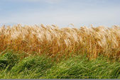 Wheat fields in France — Stock Photo