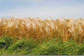 Wheat fields in France — Stock Photo
