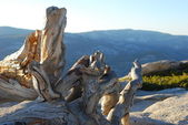 Dead tree on top of Sentinel Dome in Yosemite — Stock Photo