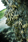 Hanging Seaweed — Stock Photo