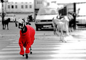 Goat in the red sweater. — Stock Photo