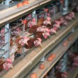 Chicken farm — Stock Photo #9784124