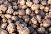 A group of potato — Stock Photo