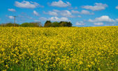 A field of yellow rape seed in Devon against a beautiful blue sky — Stock Photo