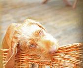Hundvalp (sittande) valp — Stockfoto