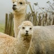 Alpaca mother and baby-5 — Stock Photo
